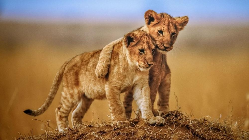 Cute lion cubs  wallpaper