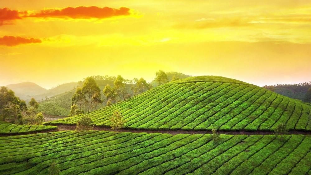 Tea Garden hill station in Karela, India wallpaper