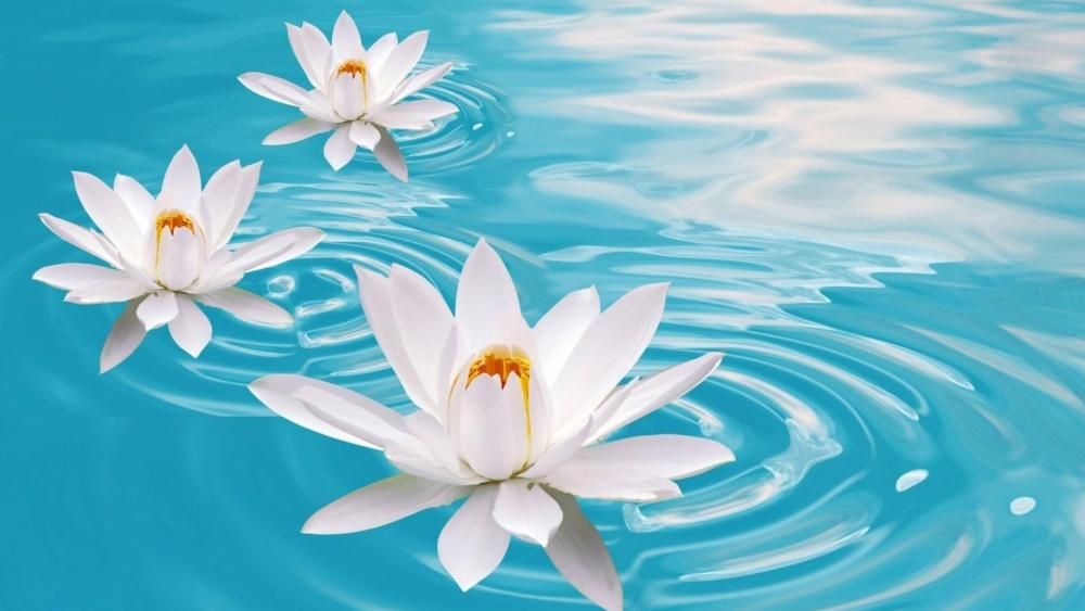 White Lotus flowers in the blue water wallpaper