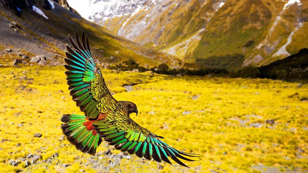 New Zealand Kea in flight wallpaper
