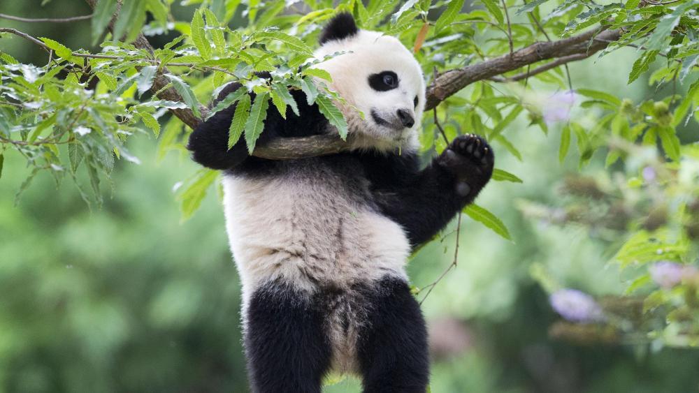 Giant panda (Bao Bao) wallpaper