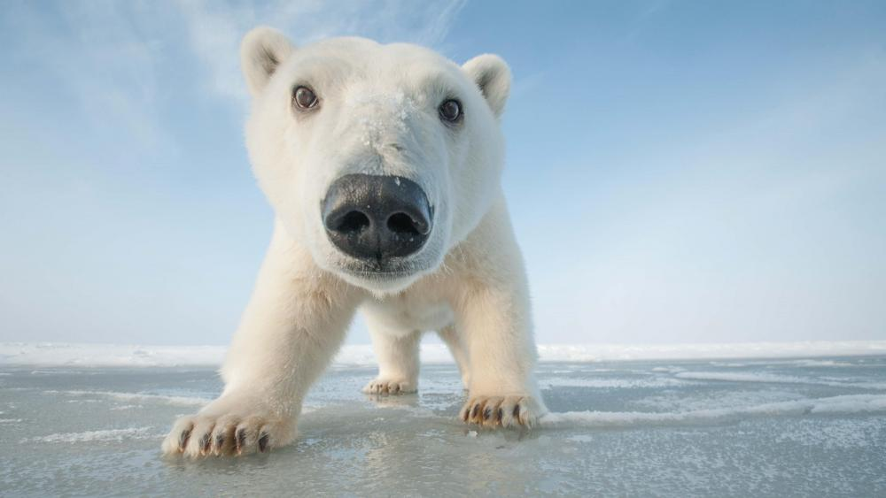 Polar bear cub on ice wallpaper