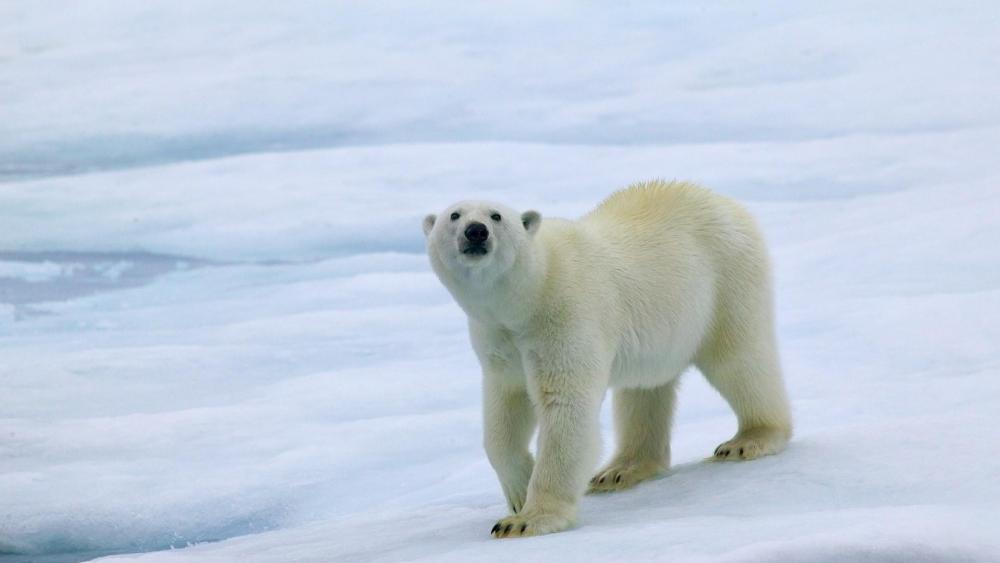 Polar bear in the ice field wallpaper