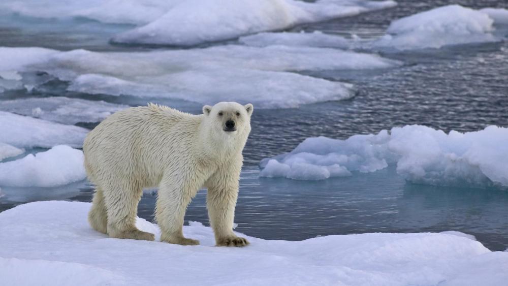 Polar bear on ice wallpaper