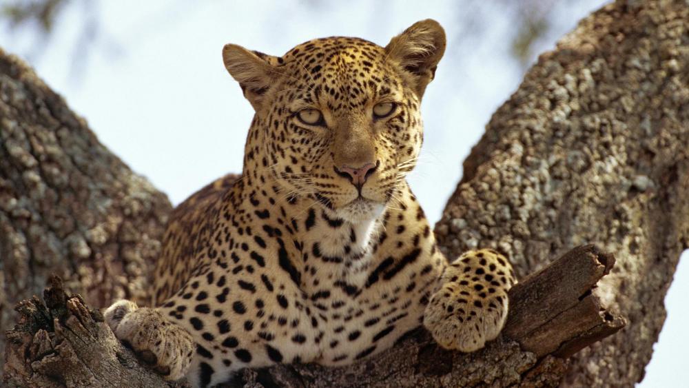 Leopard in the tree wallpaper