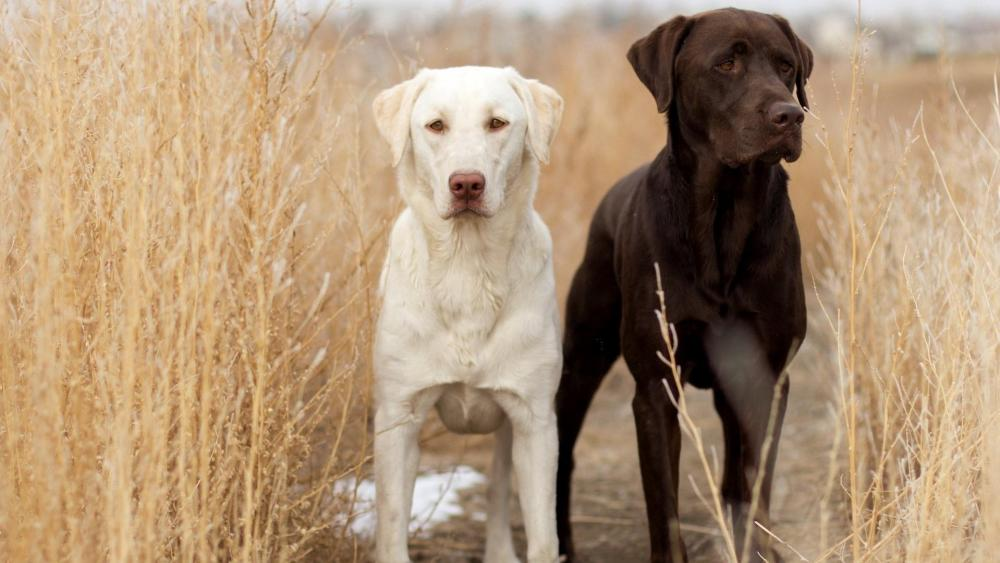 Labrador Retrievers wallpaper