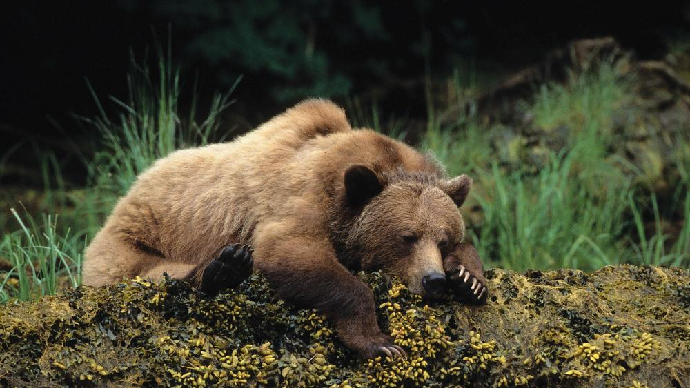 Sleeping brown bear  wallpaper