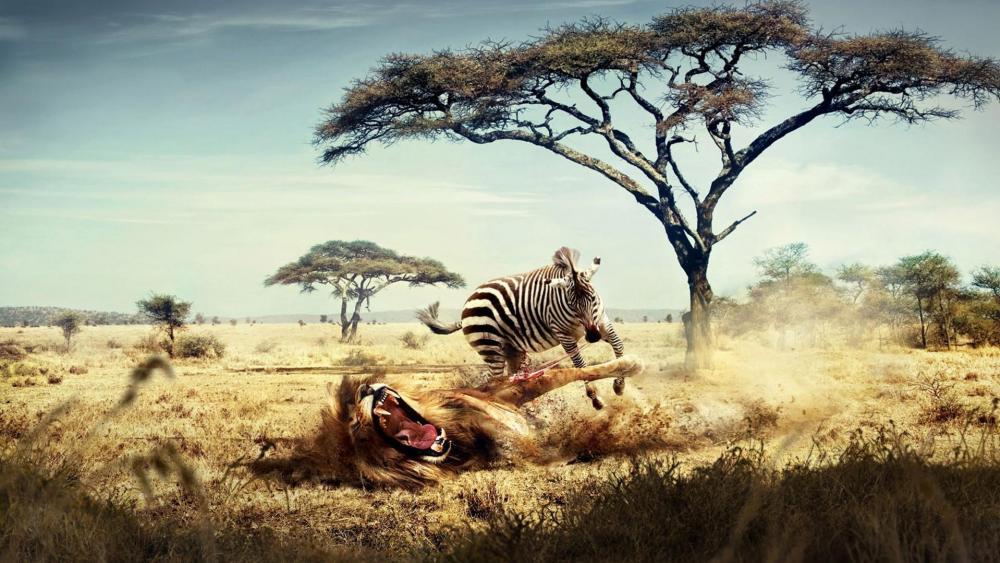 Zebra eats lion wallpaper
