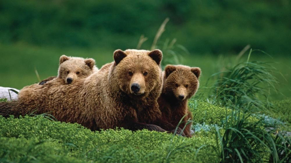Mama bear with two grizzly bear cubes wallpaper