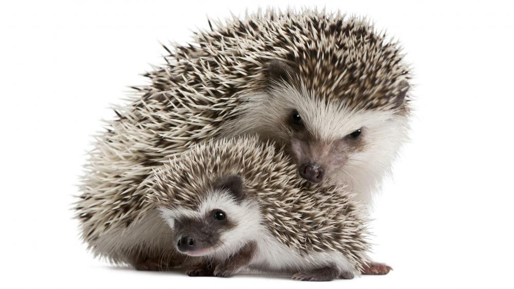 Sweet hedgehogs wallpaper