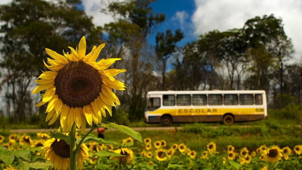 Sunflower field in Brazil wallpaper