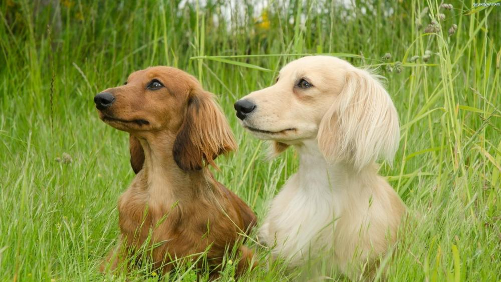 Dachshunds in the grass  wallpaper