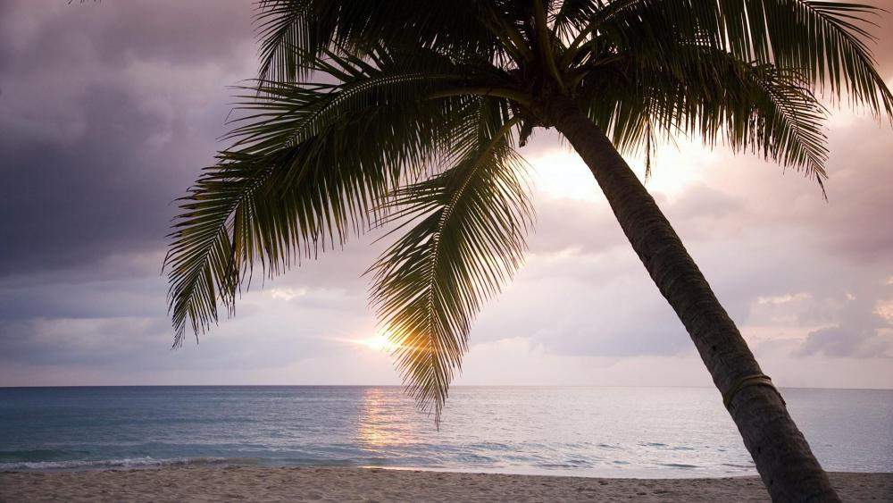Palm tree at the beach in Jamaica  wallpaper