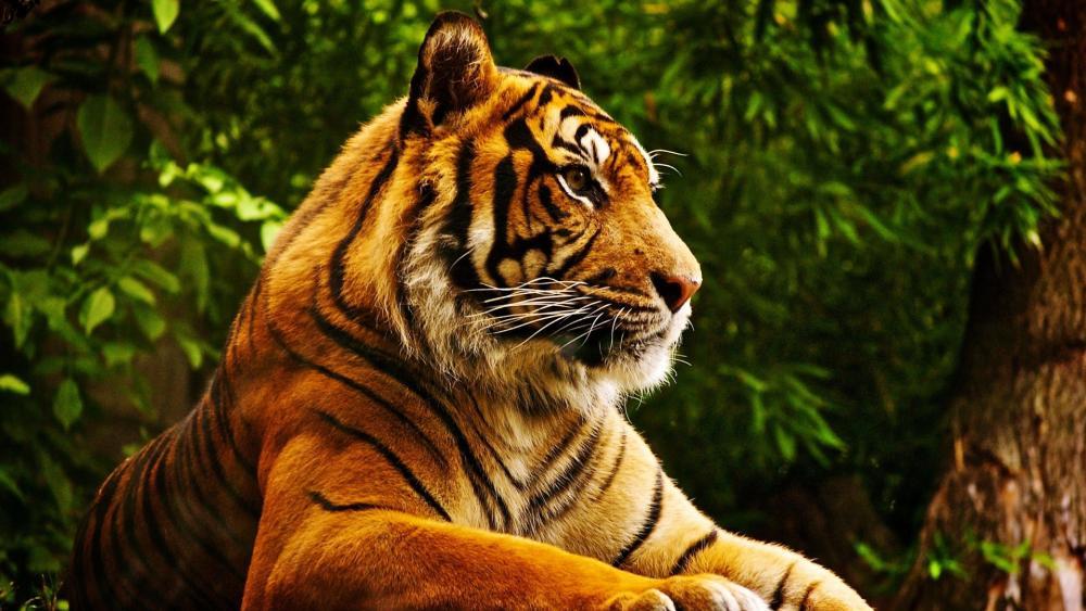Bengal tiger - London Zoo wallpaper