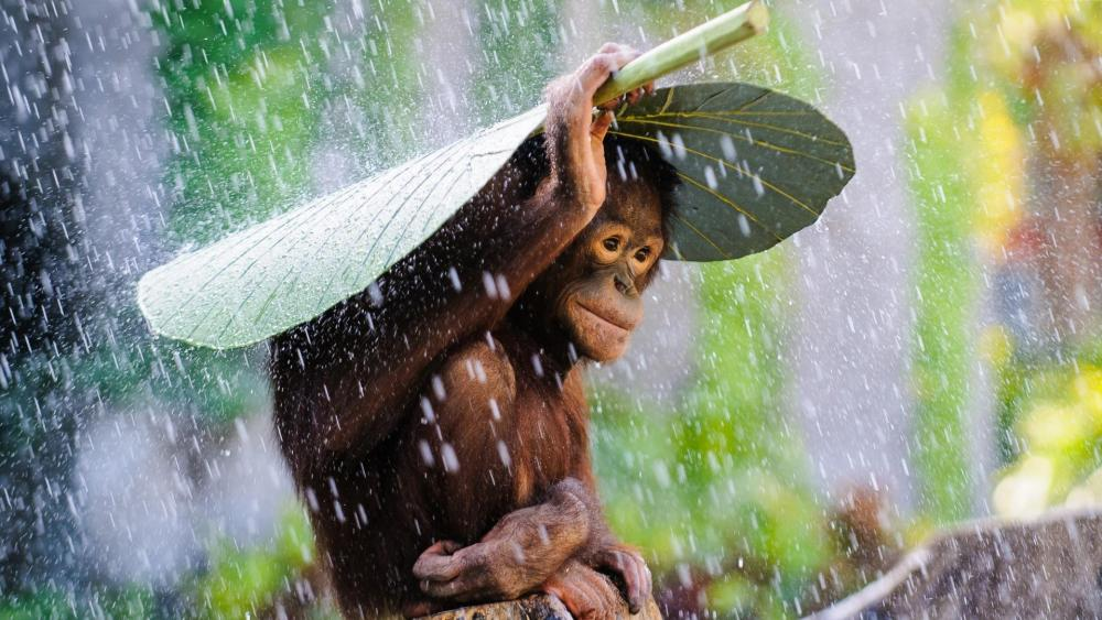 Orangutan covering himself from the rain wallpaper