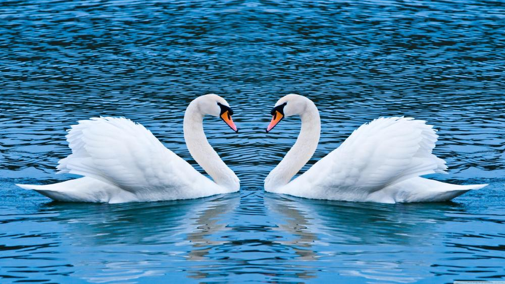 Couple of swan on the lake ❤️ wallpaper