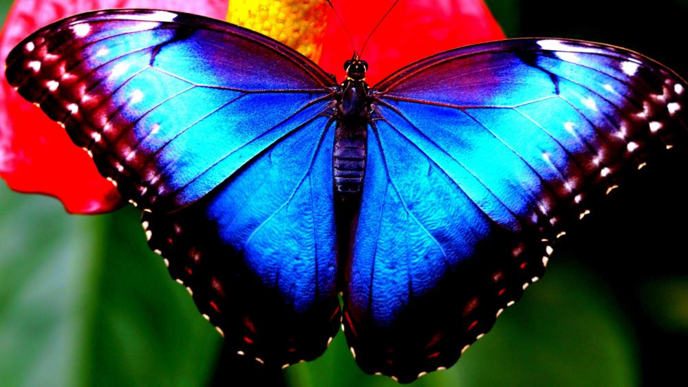 Butterfly with blue wings wallpaper