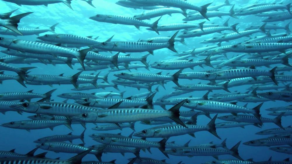 Striped fish school wallpaper