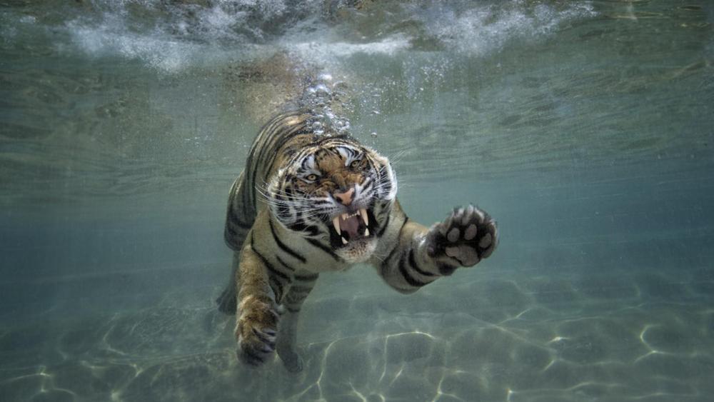 Sumatran tiger under the water wallpaper