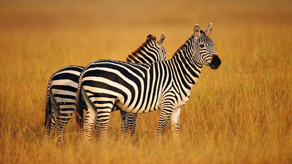 Zebras wallpaper