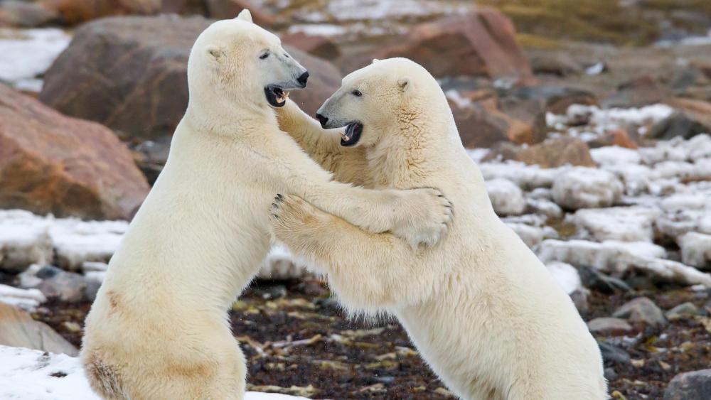 Polar bear fight wallpaper