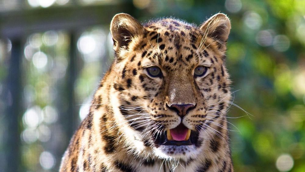 Leopard close-up face wallpaper