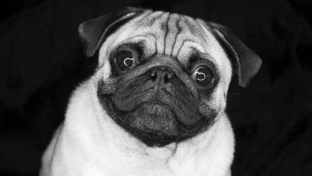 Pug dog - Monochrome photography wallpaper