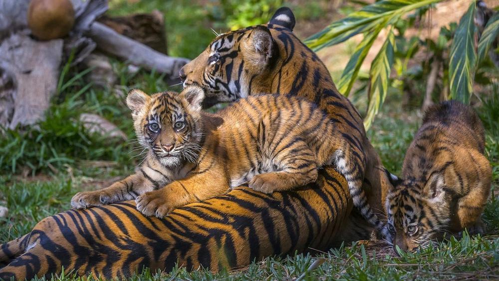 Tiger family wallpaper