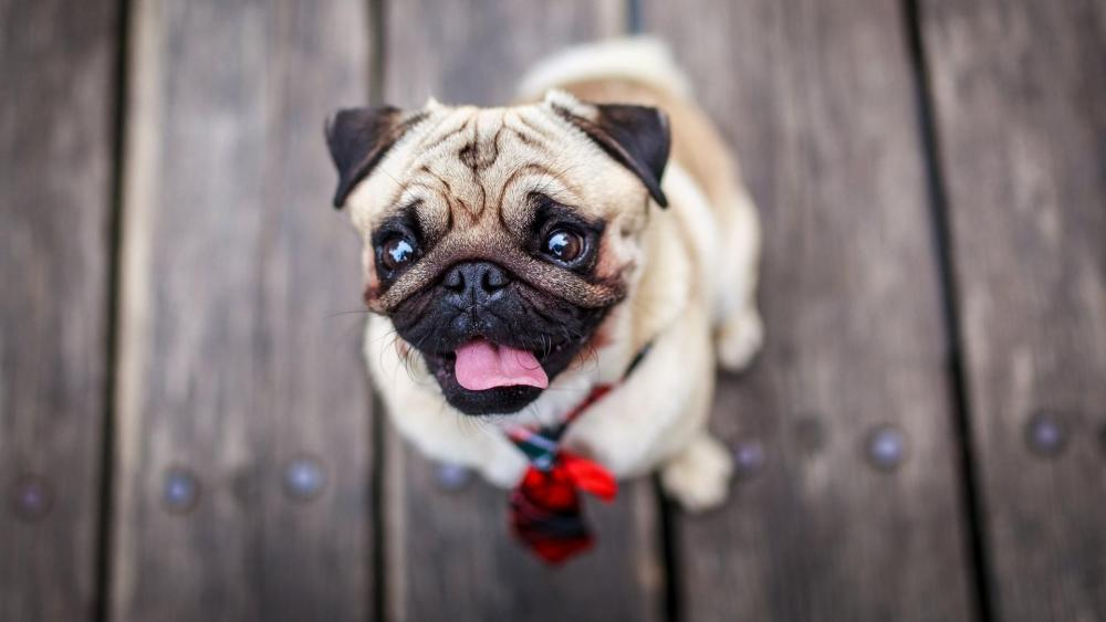 Pug on the floor wallpaper