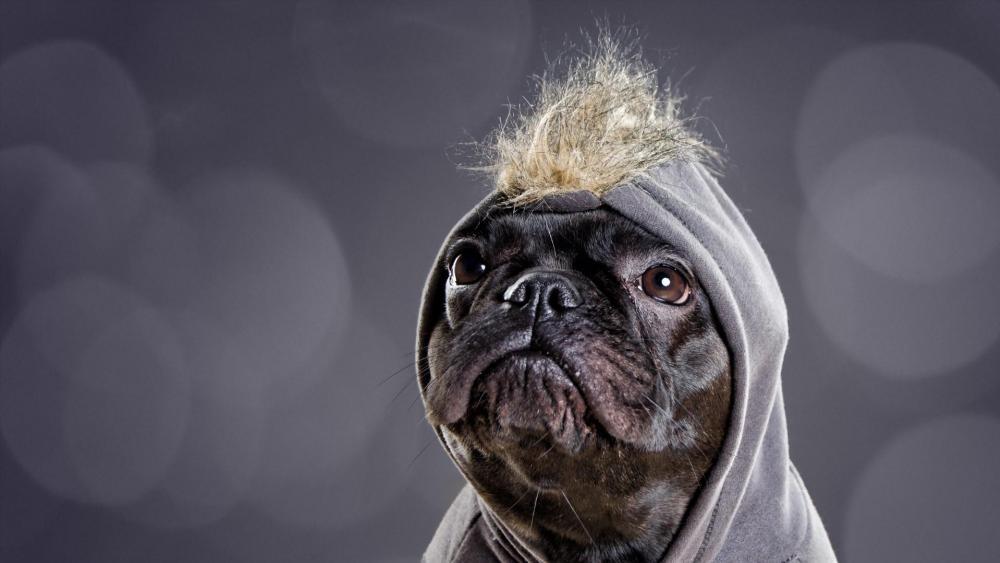 Dressed pug dog wallpaper