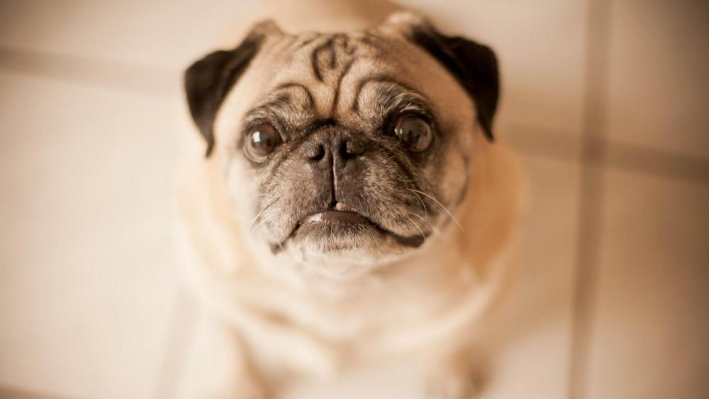 Pug dog on the floor wallpaper