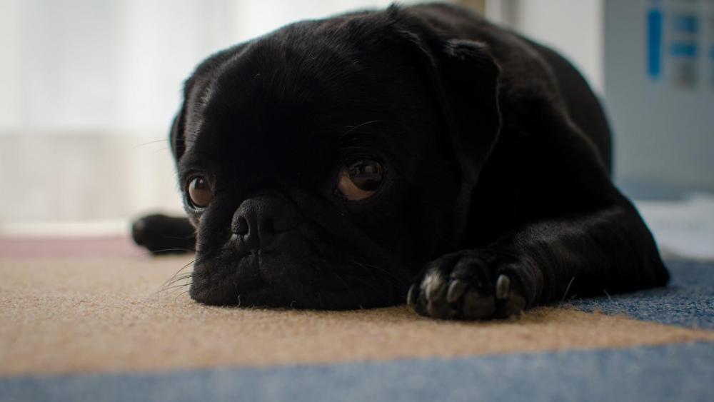 Black pug dog puppy wallpaper