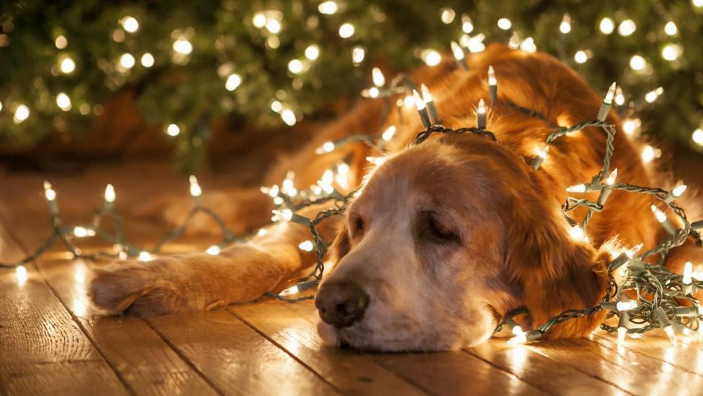 Golden retriever under the Christmas lights wallpaper