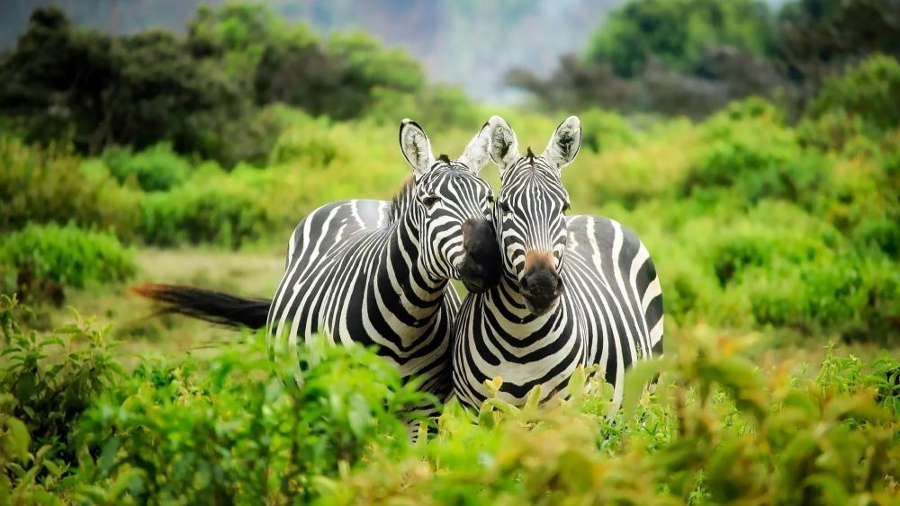 Zebras in Kenya wallpaper