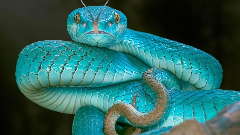 Blue pit viper snake wallpaper