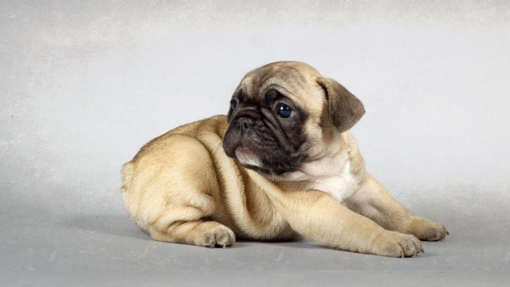 Cute pug puppy wallpaper
