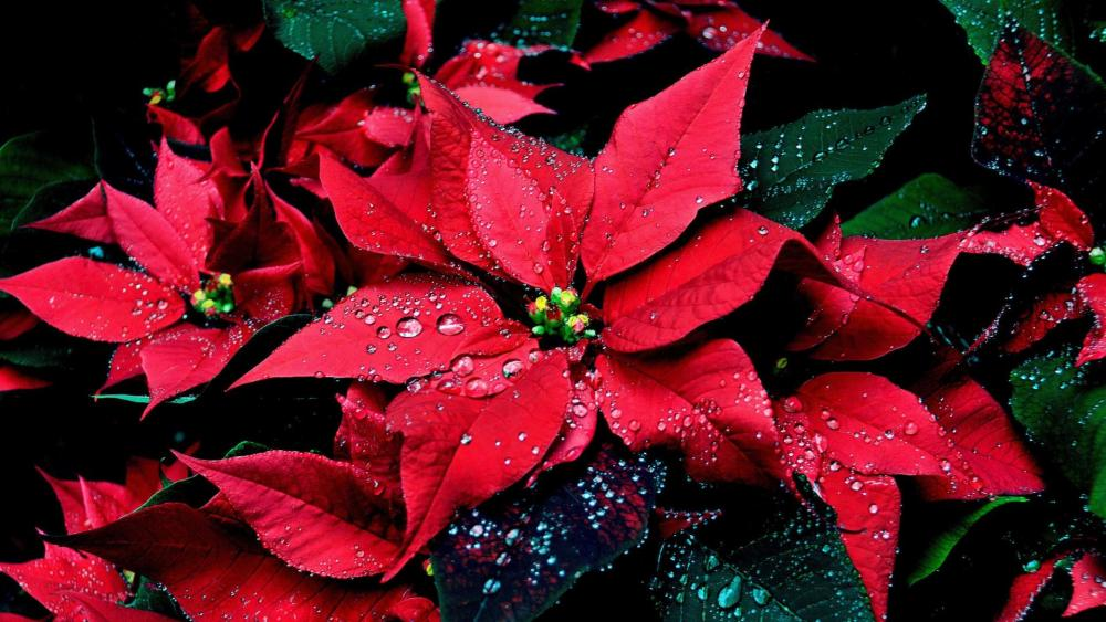 Poinsettia wallpaper
