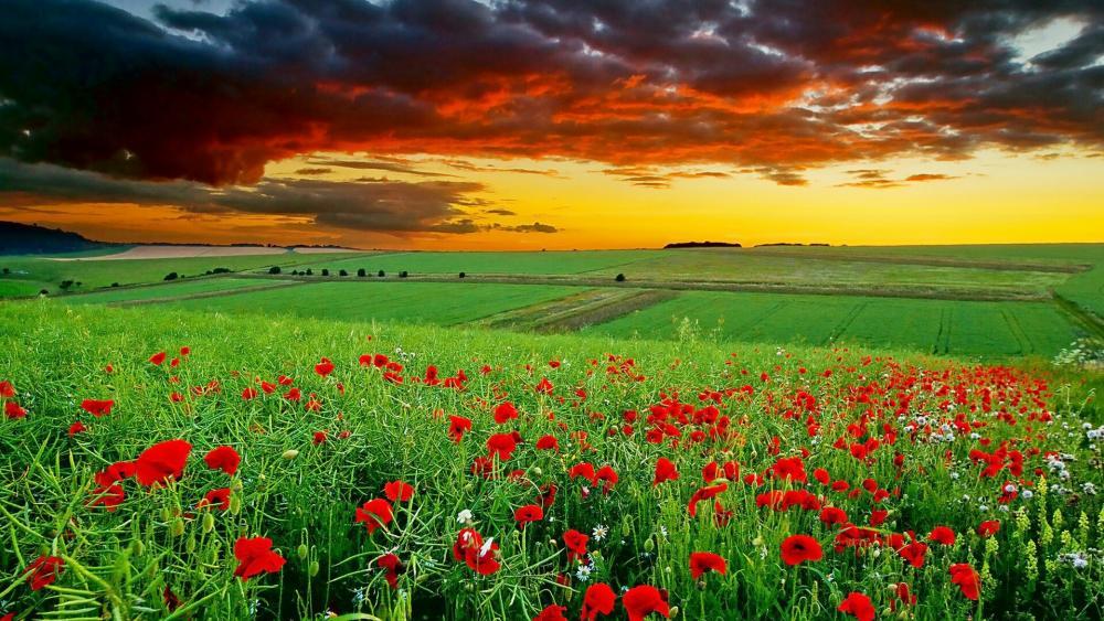 Poppy field in the sunset wallpaper