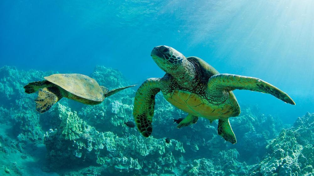 Turtles in the sea wallpaper
