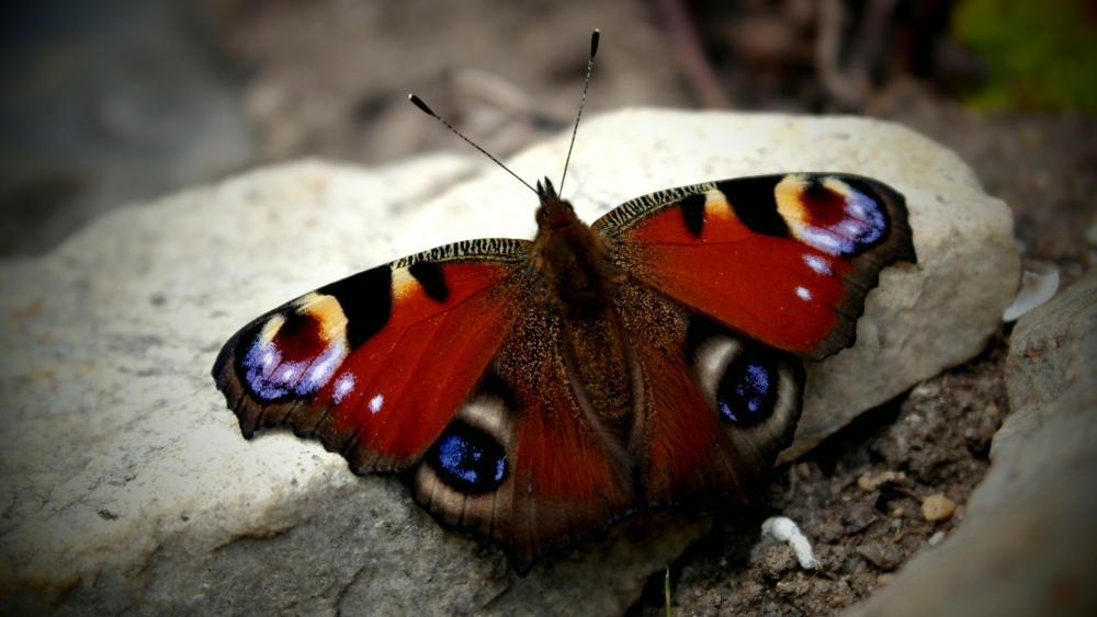 Peacock butterfly  wallpaper