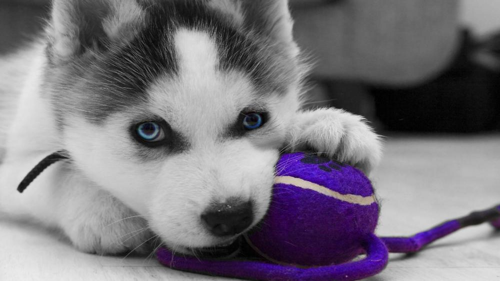 Cute Siberian Husky puppy wallpaper