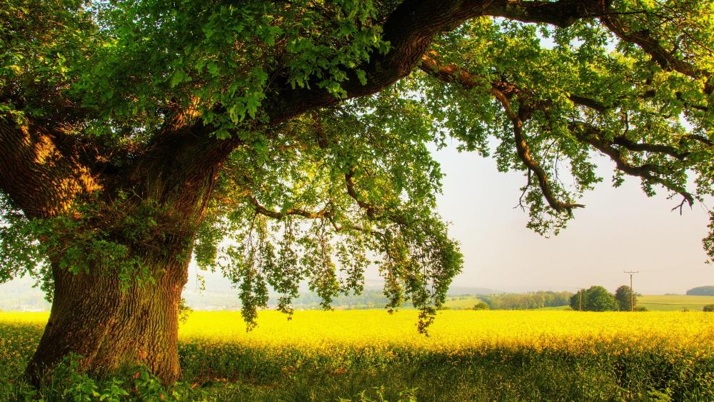 Oak tree in the field wallpaper