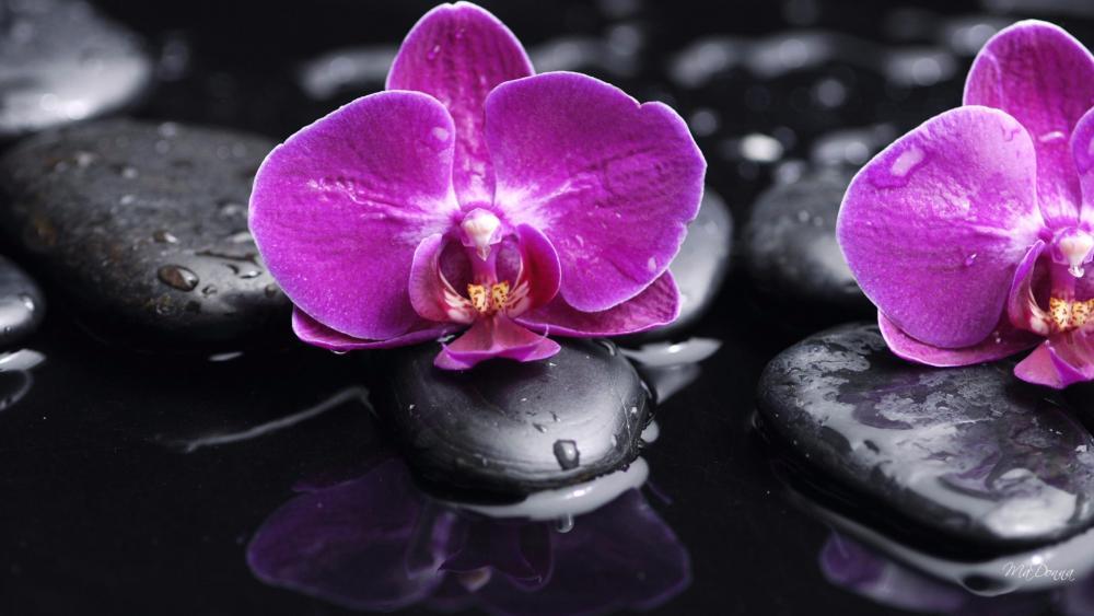 Pink orchids wallpaper