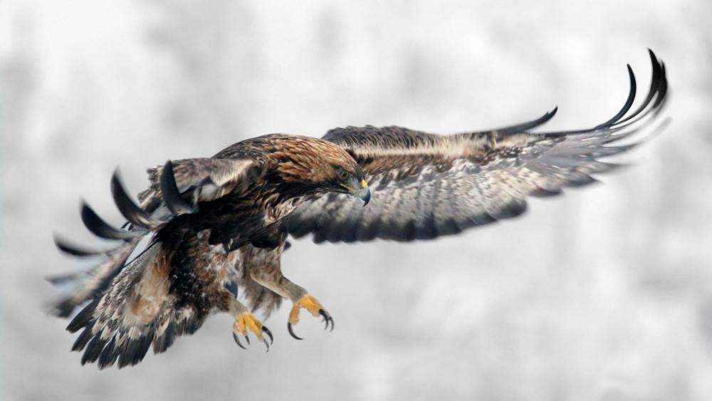Golden eagle - Bird of prey wallpaper