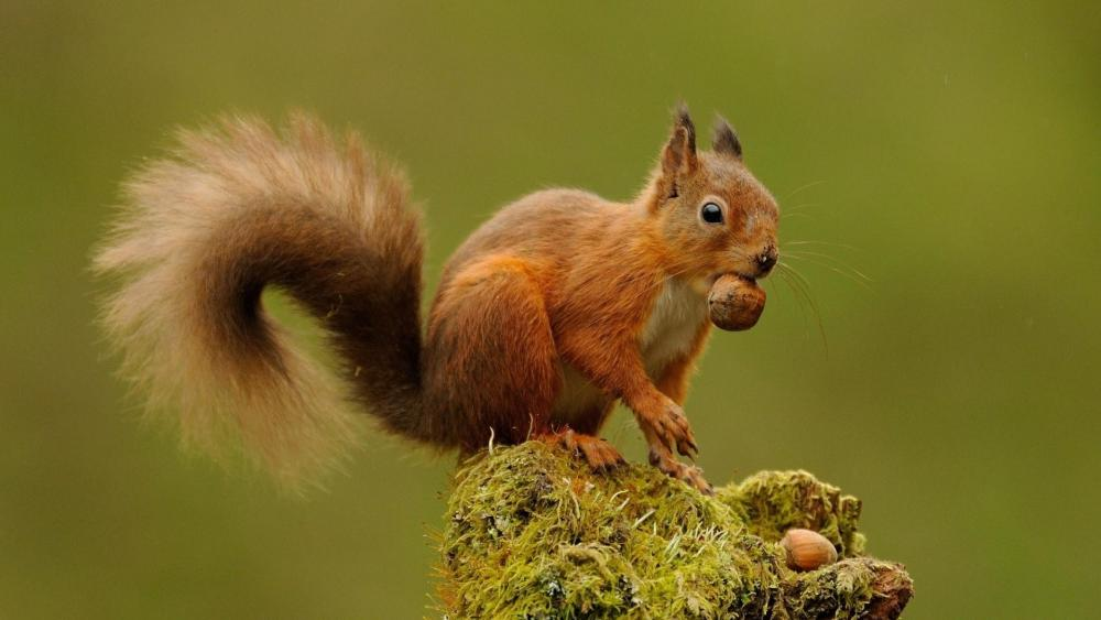 Red squirrel with nuts ️ wallpaper
