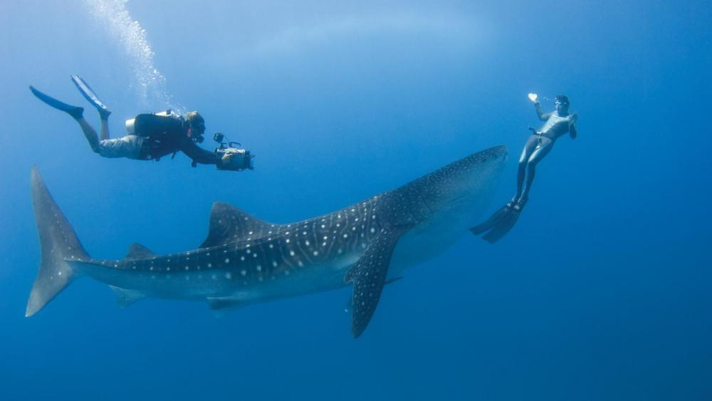 Diving with a whale shark - Underwater photography wallpaper