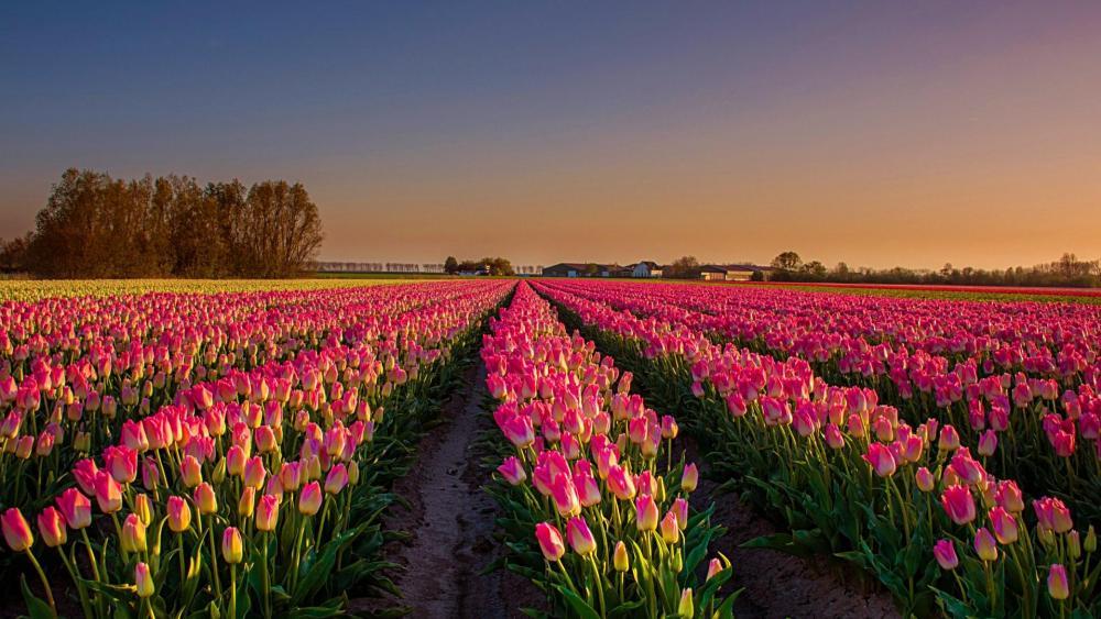 Tulip field in Netherland  wallpaper