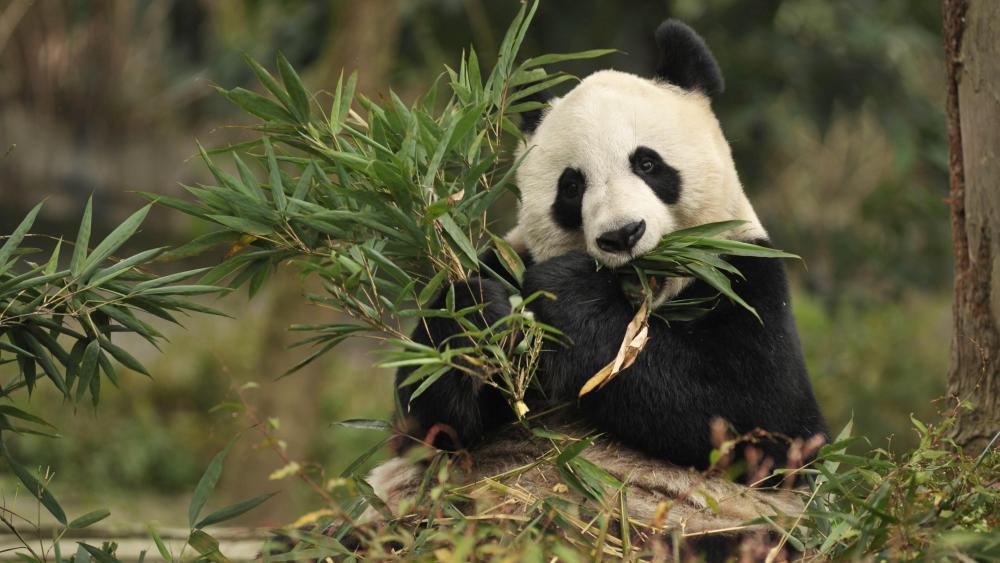 Giant Panda eating wallpaper