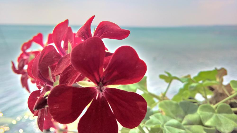 Geranium wallpaper