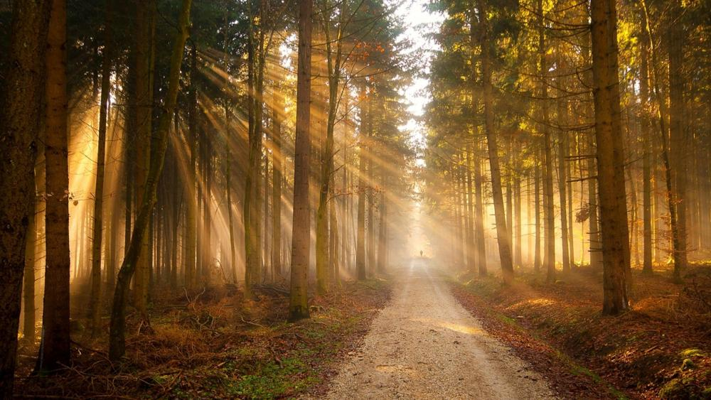 Endless path in the sunny forest wallpaper